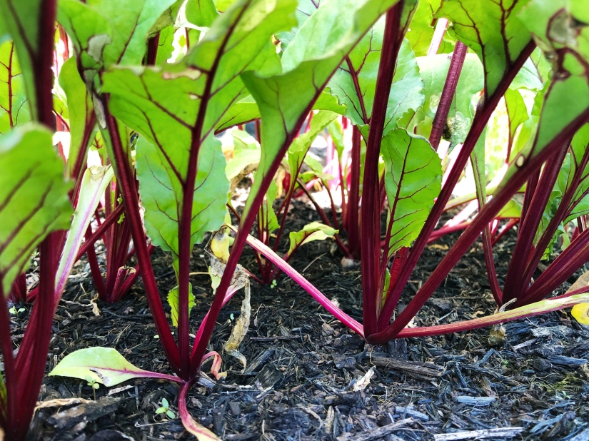 A forest of bushy beets!