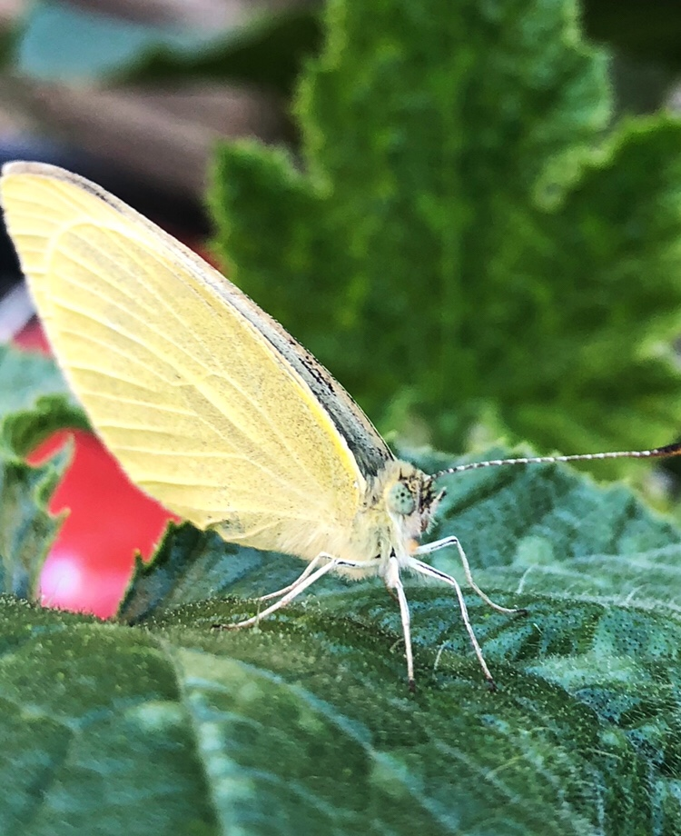 Butterfly on a courgette leaf